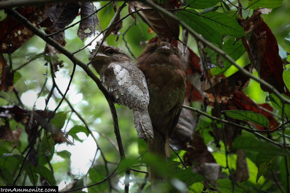 Frogmouth-5