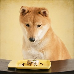 sushiba (dancingshiba) Tags: food dog sushi japanese eat hana snack shiba californiaroll inu madeincalifornia explored 4852 franciscanchina 52weeksfordogs between1949andfeb1953 thisishersecondserving shesnatchedthefirstonewhileiwasstillsettinguptheshot imistakenlytookmyeyesoffhertochecktheviewfinder