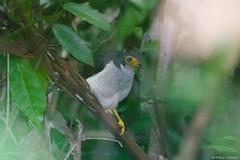 Micrastur gilvicollis - Lined Forest-falcon (arthurgrosset) Tags: fbwnewbird fbwadded micrasturgilvicollis linedforestfalcon
