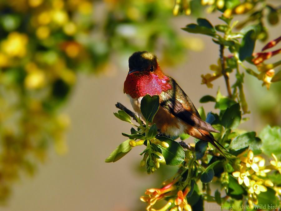 Allen's Hummingbird 01101-3