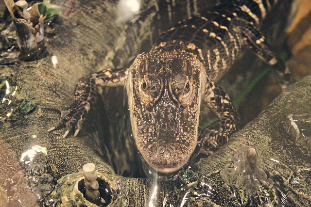 MODS gator 3