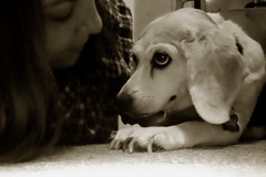 114-365/ Day 5: From a Low Angle (SweetiePea) Tags: dog beagle sepia self 365 30daychallenge
