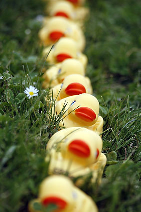 The ducks in a row (Seattle Times photo)