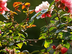 bloom droplets (johnb/Derbys/UK) Tags: life morning light summer sun colour home nature water rose countryside droplets interesting pov web olympus bloom myworld lovely mystyle howitis derbyshireuk ©johnb