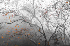 Renewal (_Kyriakos) Tags: trees branches leaves orange fog mist winter mountain cyprus troodos nature december cold rainy outdoors forest a6000 sony emount cloud cloudy mirrorless treescape treetops bare branch mediterranean