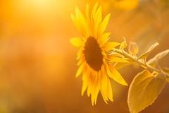 summerdreams (SonjaS.) Tags: sonnenblume sun sonne sonnenuntergang gegenlicht gelb farbe color warm sommer summer schön beauty