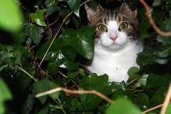 Sparky in the hedge (Boxley) Tags: cat garden feline tabby pussy ivy hedge sparky moggy rescuedcat