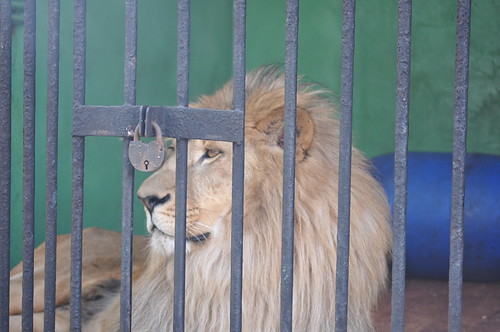 caged lion by insane photoholic