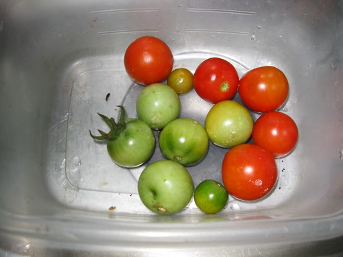 Salvaged Tomatoes