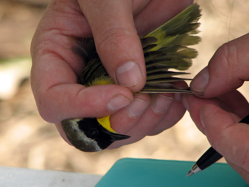 Common Yellowthroat examination