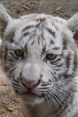Come play! (jennifernikon) Tags: nc tiger whitetiger tigercub bigcatrescue animalbehavior cnpa rockwellnc tigerworld babywhitetiger