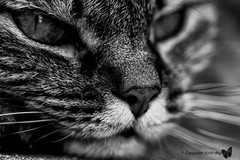 Sguardo Felino (Anji_) Tags: blackandwhite cats look cat eyes feline occhi sguardo felino gatto biancoenero