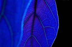 Midnight Blue (Eric Austria) Tags: blue abstract grid electricblue citygrid leafveins nikond300 ericaustria