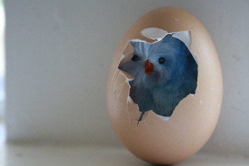 blue baby chick
