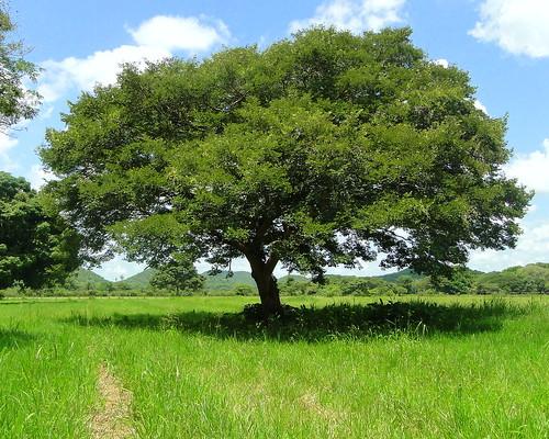 Aceite, Palo de Aceite, Copaiba [Copaiba Balsam] (Copaifera Officinalis)
