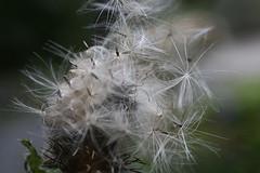 seedling pre-flight (bijoubaby) Tags: flowers orange white fall waiting with wind seed seeds nettles nothing breeze seedling rhymes preflight rhymeswithorange netneutrality matters2me