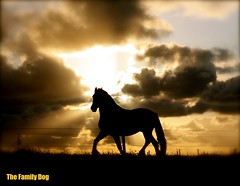 The return of the silhouetted horse (The Family Dog) Tags: horses horse silhouette caballo cheval fries ameland pferde pferd equine chevaux paard paarden equines friese friesche pferden friesische