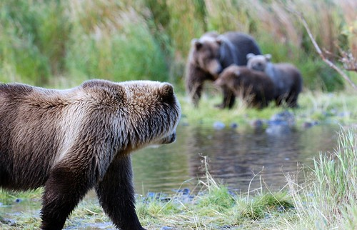 Bears on the Kulik