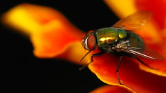 Fly on a lava wave... (Dialed-in!) Tags: red orange flower color colour detail macro nature yellow closeup oregon canon insect portland fly eyes flora legs northwest bright or illumination vivid powershot sharp clear pdx marigold detailed invertebrate g9 dialedin thechallengefactory