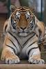 Amur Tiger (dutts303) Tags: cat canon kent tiger september sept 2009 bigcats amur amurtiger canonef70300mmf456isusm wildlifeheritagefoundation 40d whf canon40d september2009 flickrbigcats sept2009 kentbigcats