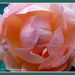 BASHFUL ROSE