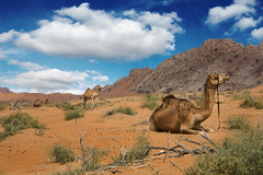 Ships of the Desert, Fujairah (sminky_pinky100 (In and Out)) Tags: travel blue sky orange tourism animal clouds sand rocks desert uae dry colourful camels arid fujairah tup abigfave omot theunforgettablepictures eyejewel
