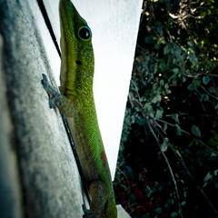 Gecko, Captain Cook, Hawaii (jacob schere [in the 03 strategically planning]) Tags: macro green nature up closeup island hawaii big close natural reptile jacob cook lizard communication captain gecko bigisland lucid captaincook schere thecoffeemill jacobschere lucidcommunication