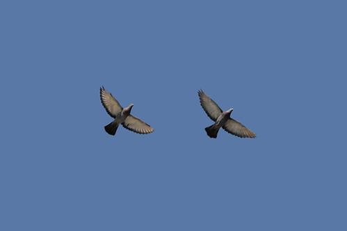 pigeons_4213 web