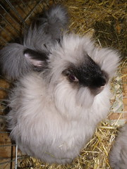 skye (ixchelbunny) Tags: bunnies english rabbits angora ixchel ixchelbunny
