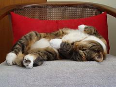 Gracie 11 November 2009 (with new camera!) 0023 (edgarandron - Busy!) Tags: cats cute cat gracie feline tabby kitty tortoiseshell kitties tortie torbie