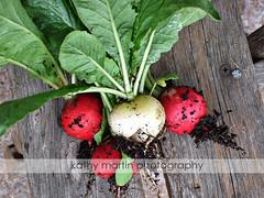 DSCF1954 (kathymartinphoto) Tags: garden organic radish