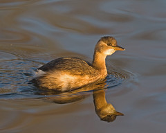 Little Grebe ( John Baldwin Hide ) (Andrew H Wildlife Images) Tags: reflection bird nature wildlife littlegrebe brandonmarsh canon7d ajh2008