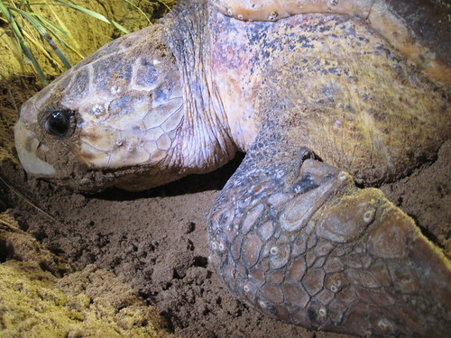 Tessa our Loggerhead