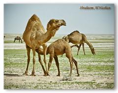 Breastfeed (Alhashan) Tags: breast camel feed breastfeed    camelus       altweltkamele