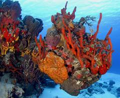 007_adj_DSC1629 pretty sponges in cozumel (edpdiver) Tags: coral underwater scuba diving caribbean cozumel reef fins scenicsnotjustlandscapes