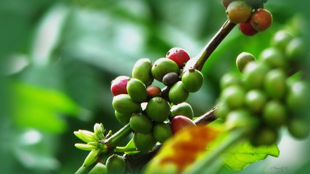 กาแฟลดความอ้วน อันตราย กาแฟอันตราย สมุนไพรลดน้ำตาลในร่างกาย