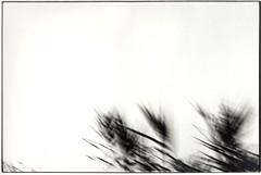 Liquid Skin. Frozen #3 (Mohav [Trafficante di Sarde]) Tags: trees blackandwhite leaves alberi darkroom 35mm frozen nikon skin glossy f80 fiber liquid spiaggia biancoenero blancinegre 1600iso blancetnoir gelatinsilverprint nikon50mmf18 cameraoscura fujineopan ilfordpaper tetenaleukobrom baritata durstm800 liquidskinfrozen