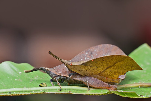 Leaf Mimic Grasshopper mating