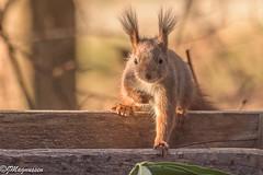 Ekorn / squirrel