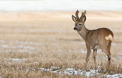 Roe Deer buck (Wouter's Wildlife Photography) Tags: roedeer deer capreoluscapreolus animal mammal nature wildlife winter snow wintercoat velvet billund rådyr ree pattedyr buck male antler