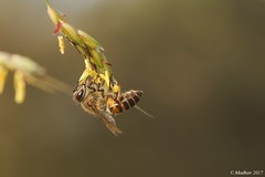 Hungry Bee... (madhavmallia) Tags: bee upsidedown hanging plucking seeds food insect pulling hungry
