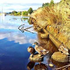 061/365 • sleepy, watchful, teeny-weeny and downward duck • . #ducks #sunshine #reflections #huonriver #franklin #abcmyphoto #tasmania #discovertasmania #tassiestyle #bellalunaboat #Summer2017 #cruising