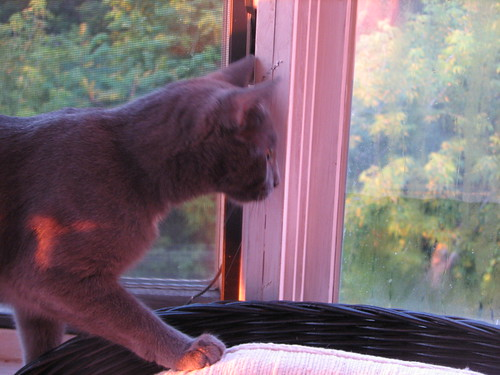 blue cat watches the sun rise