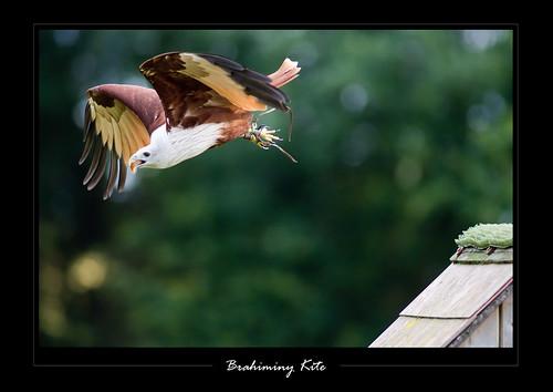 เหยี่ยวแดง Haliastur indus (Brahminy Kite ) 3701001942_9f2c6fb00e