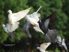 Peaceful (CLICK GROUP   Moeen) Tags: nikon saudiarabia  jazan gizan      d40x concordians dazzlingshots  thewonderfulworldofbirds