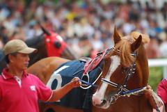 wild at heart (pranav_seth) Tags: horses horse singapore emirates jockey races betting derby kranji singaporeturfclub emiratessingaporederby emiratesderby