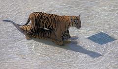 Tiger cubs Harimau Kayu, Damai and Kucing in the pool (kjdrill) Tags: california park wild usa cats baby animal sumatra sandiego tiger tigers cubs indonesian exoticcats bigcats damai sumatran escondido kucing endangeredspecies harimaukayu 6906a