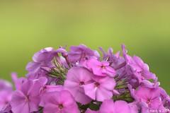 Green Bokeh (hknatuurfoto (Hans Koster)) Tags: green garden groen bokeh hedge gras tuin heg canoneos40d