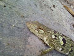 Falso camaleón 2