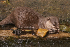 Asian Small-clawed Otter 1 (Foto Martien (thanks for over 2.000.000 views)) Tags: india holland netherlands beautiful dutch indonesia thailand zoo southeastasia burma arnhem philippines nederland taiwan indoor vietnam burgers jungle malaysia laos bangladesh veluwe burgerszoo ecosystem immersion burgersbush riverotter gelderland southasia dierenpark tropicalrainforest kleinklauwotter asiansmallclawedotter southernchina sero zwergotter smallclawedotter sigmaapomacro70300 a350 aonyxcinerea southernasia orientalsmallclawedotter burgersdierenpark dwergotter aziatischekleinklauwotter loutrecendre mangroveswamps sonyalpha350 kurzkrallenotter tropischregenwoud martienuiterweerd tropischehal tropichall freshwaterwetlands martienarnhem lontraanoriental oostersekleinklauwotter nutriaenana